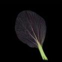 Plantui Brukev-zelí čínské