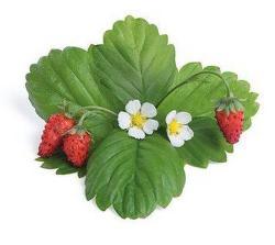 Véritable Lingot Wild Red Strawberry substrát (lesní jahody)