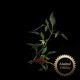 Plantui Chili Demon Red Chilli tmavě-červené (3ks)